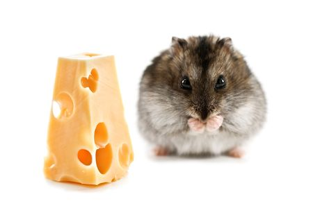hamster with piece of cheese photo
