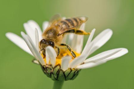 working bee on chamomile closeup  photo