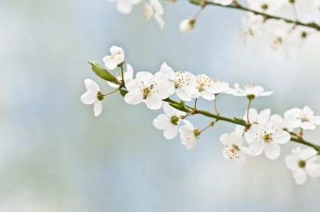 japan sky: white cherry flowers on spring time