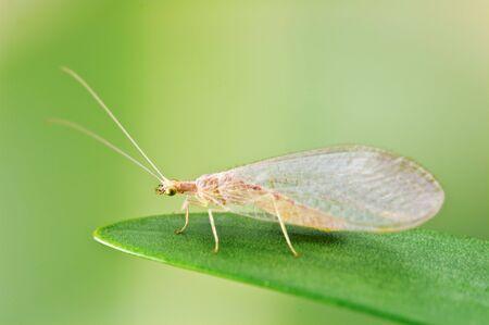 chrysopidae: Chrysoperla carnea on green leaf