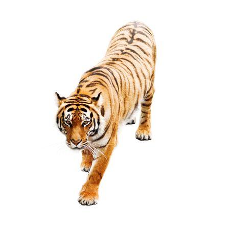 garra: Tigre aislados sobre fondo blanco Foto de archivo