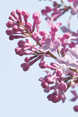 pink lilac flower close up photo