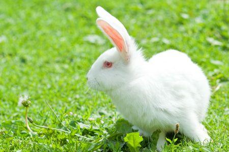 bunnie: white rabbit in grass closeup
