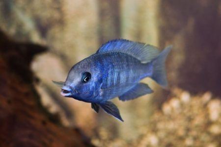 cichlidae: blue fish in aquarium closeup