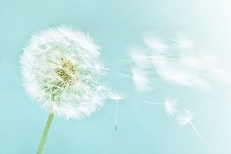 dandelion wind: dandelion on blue sky background