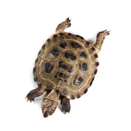 tortuga: Tortuga aislado sobre fondo blanco