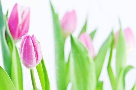 freshness pink tulip close up photo