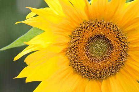 yellow sunflower part close up photo