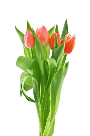 tulip isolated on white background photo