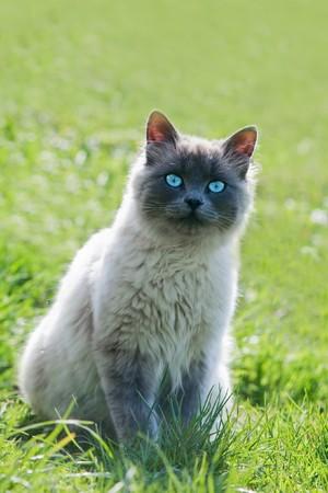 siamese cat on green lawn photo
