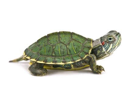 tortuga: tortoice de oreja roja aislado en blanco