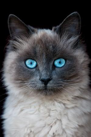 portrait de chat Siamese isolée sur noir  Banque d'images