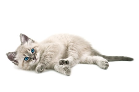 kitten isolated on white background Stock Photo - 7097873
