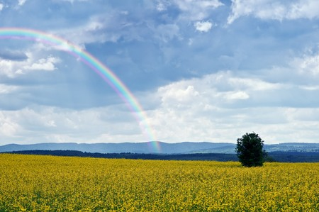 yellow rape field and rainbow Stock Photo - 7097893