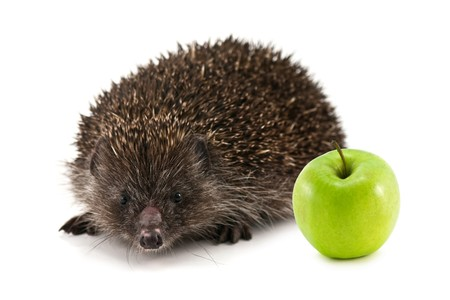 young hedgehog isolated on white photo