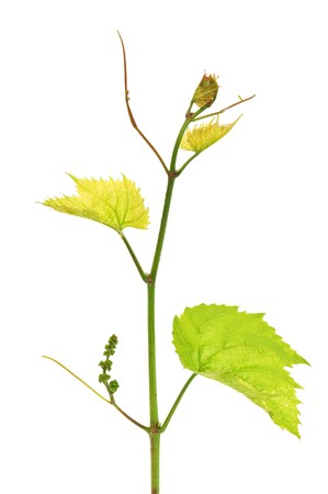 grapevine isolated on white background photo