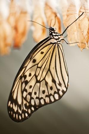 繭と蝶をクローズ アップ