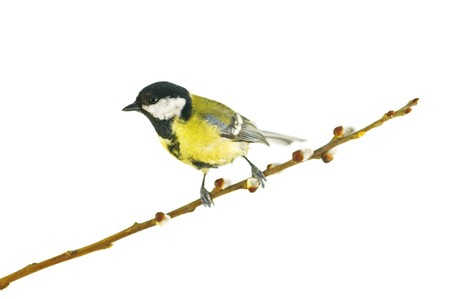 parus on twig isolated on white photo