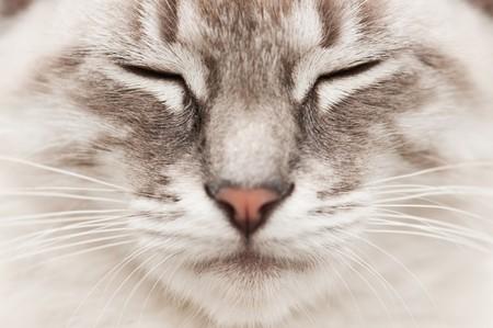 gato gris: cara de gato gris close up  Foto de archivo