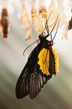 capullo: mariposa con capullo close up Foto de archivo