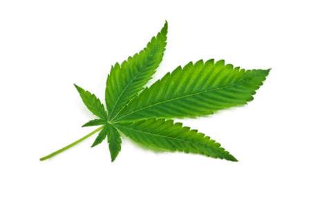 marijuana leaf isolated on white background photo