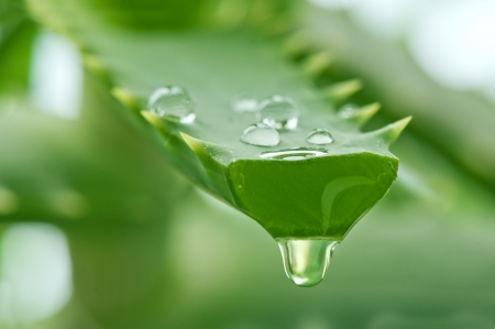 aloe juice drop close up Stock Photo - 8864172