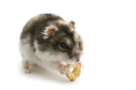 sitting hamster isolated on white Stock Photo - 8864185