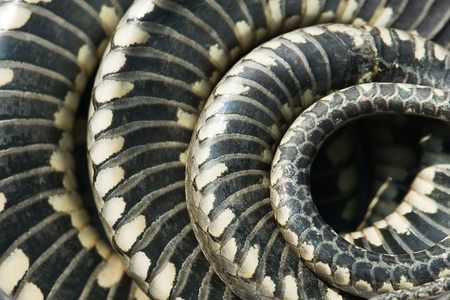 grass snake: snake scale texture close up