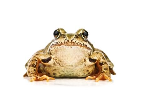 Frosch isoliert auf weißem Hintergrund