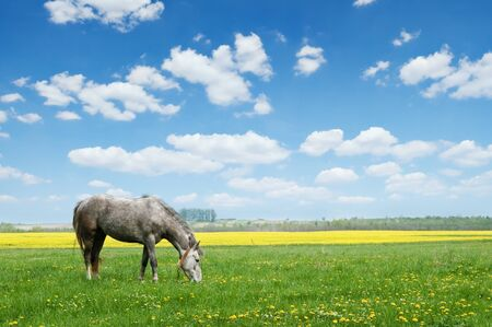 grey horse on flower meadow photo
