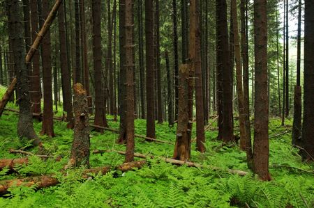 fairy tale fir tree forest Stock Photo - 10223927