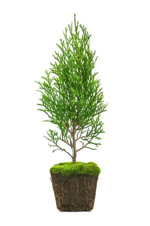 juniper tree: thuja with dirt isolated on white Stock Photo