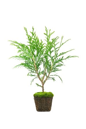 thuja with dirt isolated on white Stock Photo - 10870668