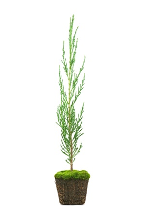 thuja: thuja with dirt isolated on white Stock Photo