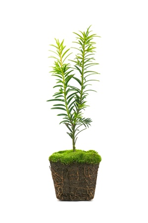 thuja with dirt isolated on white photo