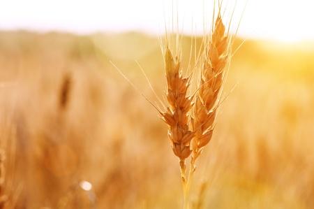 grow up: dry wheat stem close up