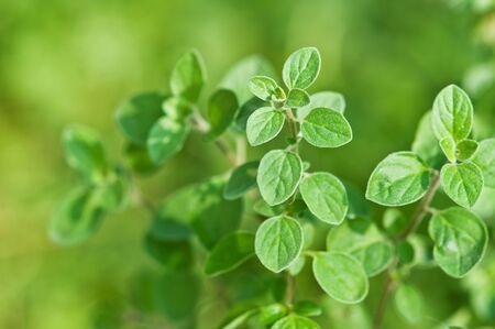 oregano plant: fresh green oregano close up