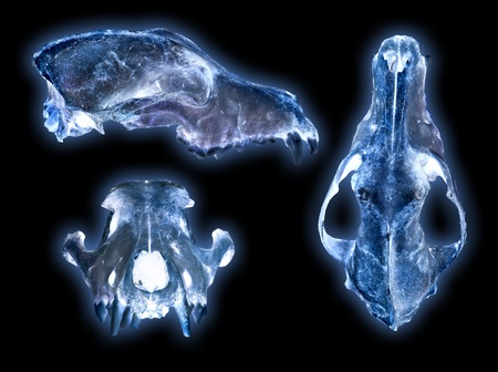 dead dog: dog scull x-ray photography on black Stock Photo