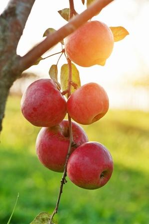 red apple on tree closeup Stock Photo