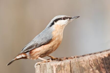 nuthatch on stump close up