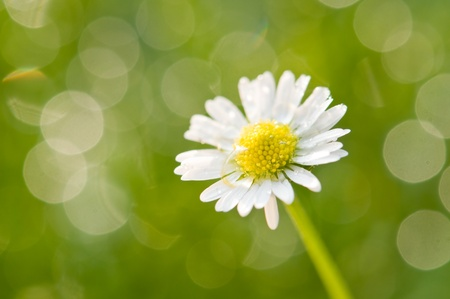 meadow of chamomile close up photo