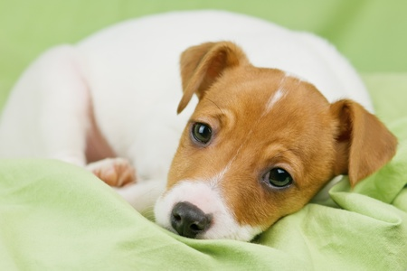 jack russel: jack russel terrier on green sheet Stock Photo