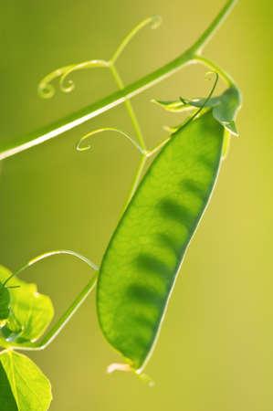 green pea pod on twig photo
