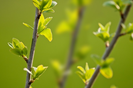 young buds of pussy willow tree Stock Photo - 12819918
