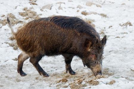 wild boar on winter field Stock Photo