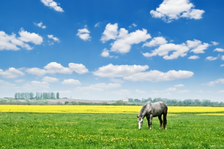 grey horse on flower meadow Stock Photo - 13662424