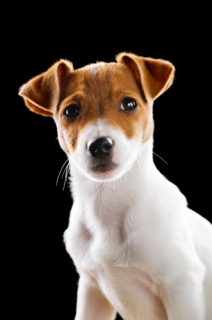 jack russel: jack russel isolated on black Stock Photo