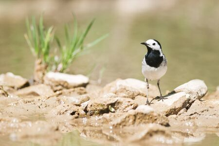 white wagtail: white wagtail on stone on the river