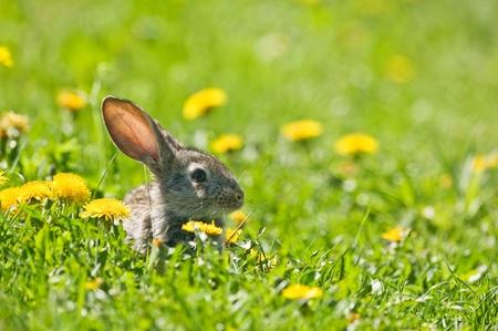 bunnie: brown rabbit in grass closeup