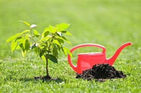 plantando arbol: pequeño árbol rojo y el riego puede Foto de archivo